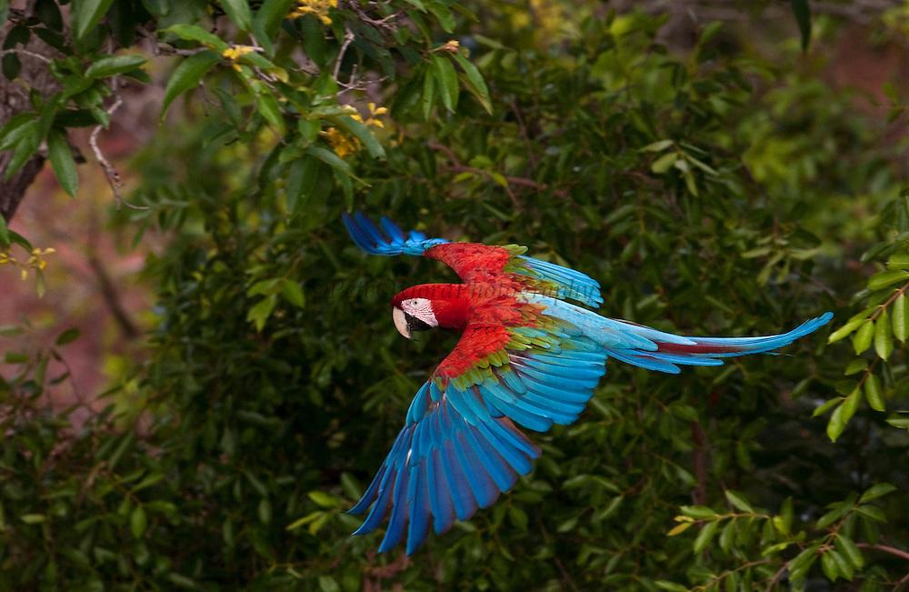 Red and green macaw (Ara chloroptera) WILD<br /> PHOTOGRAPHED IN: Cerrado, Mato Grosso do Sul Province. BRAZIL.  South America. RANGE: Humid e Panama to Brazil, e Peru, ne Bolivia and Paraguay.