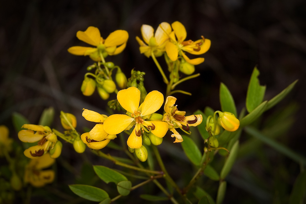 The threatened Bahama senna in full flower near Long Pine Key in the Florida Everglades, where it is still a common shrub, but has a very limited range.