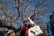 Tourists take photos of cherry blossoms in full bloom at Ueno park in Tokyo on April 3rd. The cherry blossom season in Japan kicks off boozy parties across the country and draws tourists from far and wide. 03/04/2017-Tokyo, JAPAN