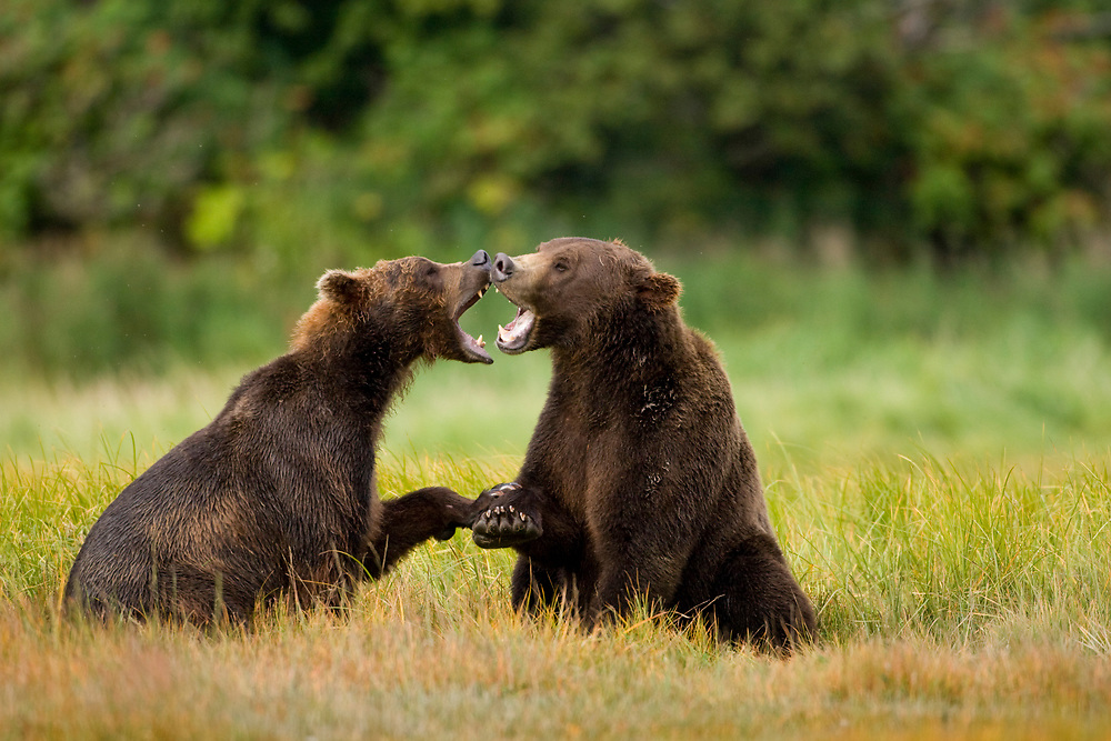 USA, Alaska, Katmai National Park, Brown Bear (Ursus arctos) sparring in meadow along Kukak Bay in late summer