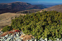 Dwarf pine (Pinus mugo) bushes on a slope in the Tarcu Mountains Natura 2000 site. Southern Carpathians, Munții Ṭarcu, Caraș-Severin, Romania.
