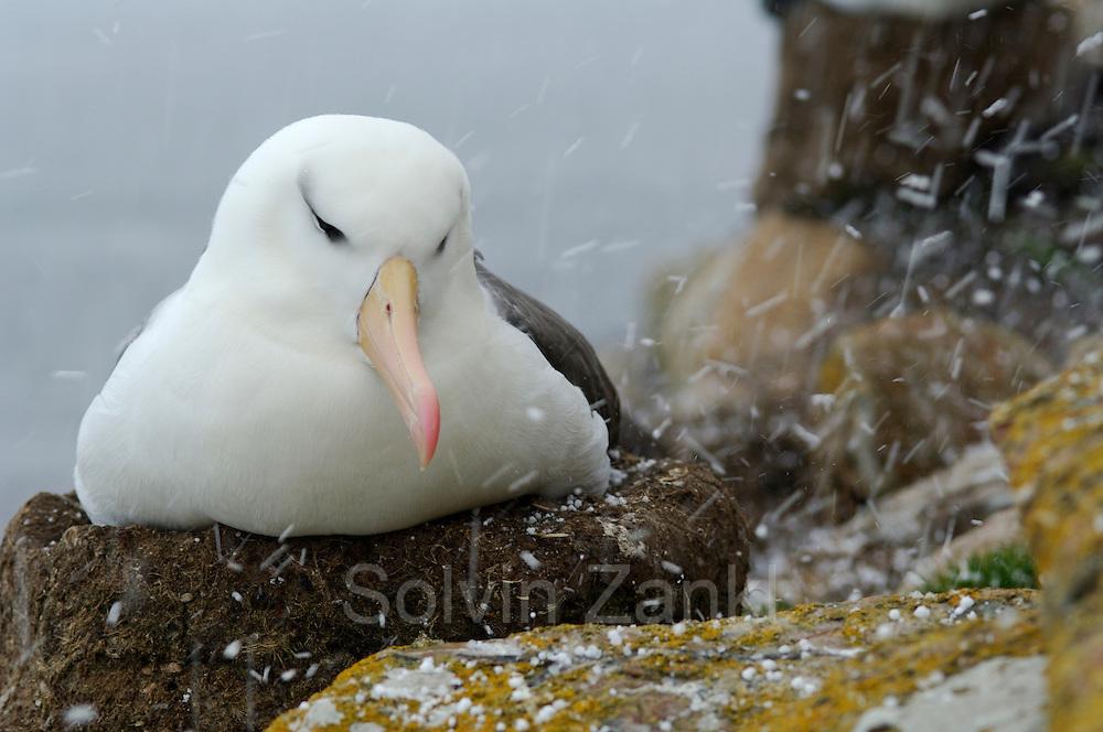 Black browed albatross (Diomedea melanophris) Saunders Island, South Atlantic Falkland Islands | Der Schwarzbrauenalbatros (Diomedea melanophris) brütet von Saunders Island, Südatlantik, Falklandinseln