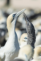 Cape Gannet chick soliciting for food from its parent, Malgas Island, West Coast National Park, Western Cape, South Africa