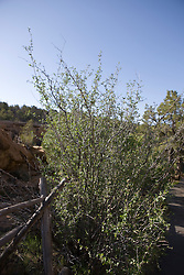 Mountain mahogany (Cercocarpus montanus),  Mesa Verde National Park, near Cortez, Colorado.