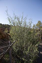Mountain mahogany (Cercocarpus montanus),  Mesa Verde National Park, near Cortez, Colorado.