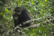 Female Sykes' monkey (Cercopithecus albogularis), also known as the white-throated monkey or Samango monkey, in a tree. This monkey lives in troops, deferring to a dominant male. This primate is quiet and shy, living in the treetops of tropical African forests. It feeds on fruit, leaves and arthropods. Photographed in Tanzania.