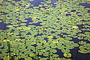 Gul nøkkerose, Yellow Water-lily, Brandy-Bottle, is an aquatic plant in the  Nymphaeaceae family. Storsjøen, Selbu