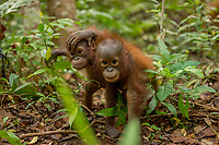 Lacking mothers, some of the orphan orangutans at IAR form bonds with eachother for comfort, and spend almost all their time together.<br /> <br /> Juvenile orangutans at IAR explore a patch of forest where they are learning skills for the wild.<br /> <br /> <br /> International Animal Rescue (IAR)<br /> Ketapang<br /> West Kalimantan Province<br /> Island of Borneo<br /> Indonesia