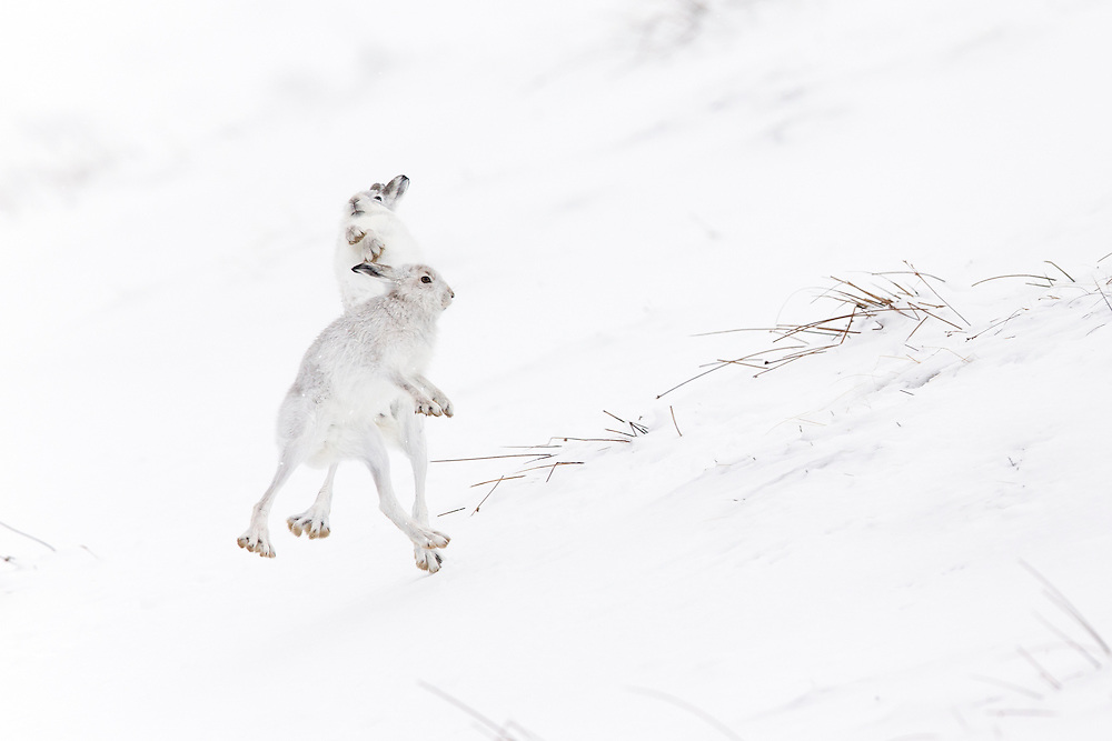 Mountain Hare (Lepus timidus) two animals boxing on snowy hillside