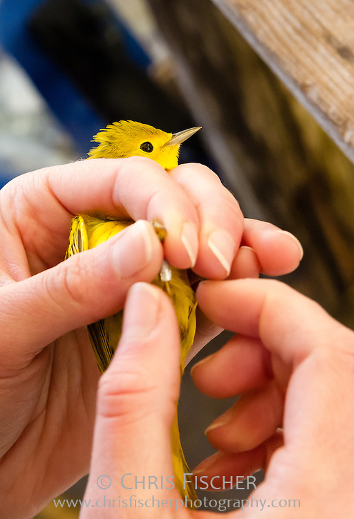 Wilson's Warbler being banded for identification on Stratton Island, Maine. The band is carefully fitted around the leg of the bird.