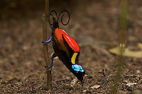Wilson's Bird of Paradise male at the display perch in the center of his carefully cleared court, presenting his colors to a female watching from above..(Cicinnnurus respublica).