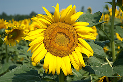 "The sunflower is an annual plant native to the Americas in the family Asteraceae, with a large flowering head. The stem of the flower can grow as high as 3 metres tall, with the flower head reaching up to 30 cm in diameter with the ""large"" seeds."