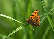 Comma butterfly at Shapwick Heath. The white comma mark that gives the buterfly its name is visible at the base of the near wing. Two populations are produced each year, with the later population overwintering by hibernating on the underside of leaves.