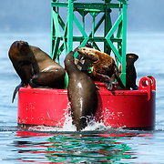Eastern Stellar sea lions (Eumetopias jubatus ssp. monteriensis) arguing over sitting territory on a buoy in Chatham Strait, Alaska.
