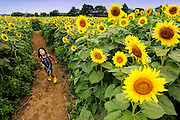 A young girl runs through a field of sunflowers in Kanagawa, west of Tokyo, Japan on Aug. 21 2009.