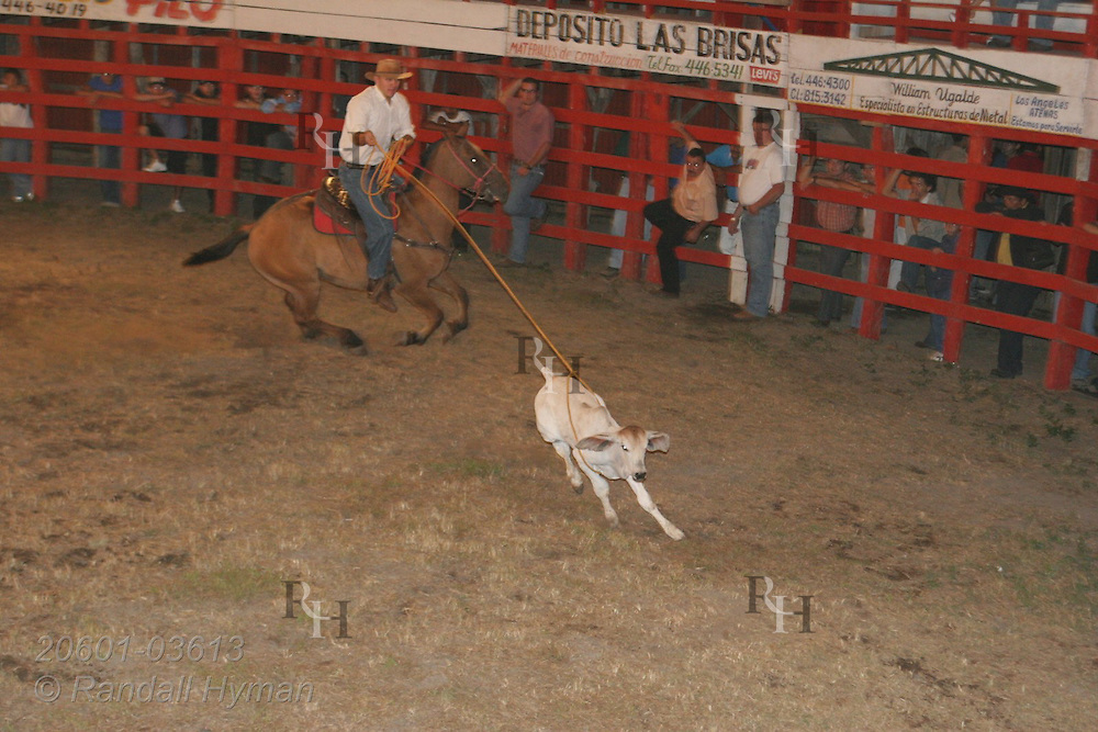 Cowboy on horse chases down calf with lasso at rodeo in Atenas, Costa Rica.