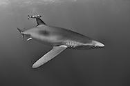 Blue shark-Requin bleu (Prionace glauca), Pico Island, Azores Archipelago.