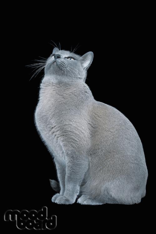 Blue Burmese cat looking up