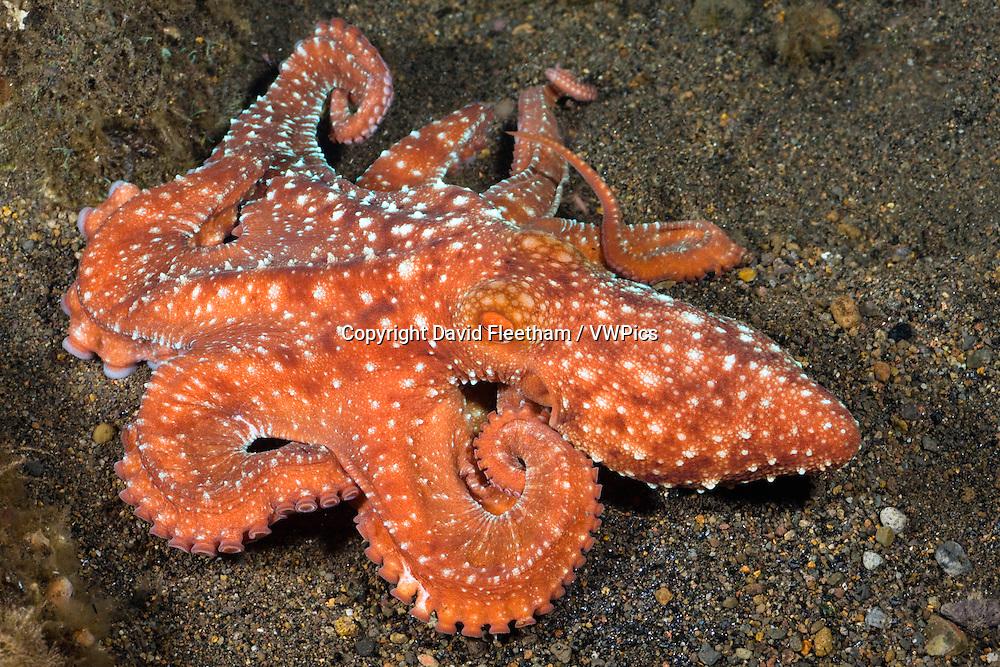 Starry night octopus, Octopus luteus, Komodo, Indonesia.