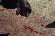 Vereinigte Staaten von Amerika, USA, 2001: Schnauze eines geschossenen Elchbullen (Alces alces americana) in der Ashland-Station, wo alle in der Jagdsaison geschossenen Elche registriert werden müssen. Der Kopf des Elches hängt über einem Pick-Up, das Blut tropft noch aus seinem Maul. | United States of America, USA, 2001: Snout of a shot moose bull, Alces alces americana, head is handing over a pickup-truck, blood is dropping out of the mouth, at the tagging station in Ashland, were all the shot moose of this area get registered during the hunting season, Maine. |