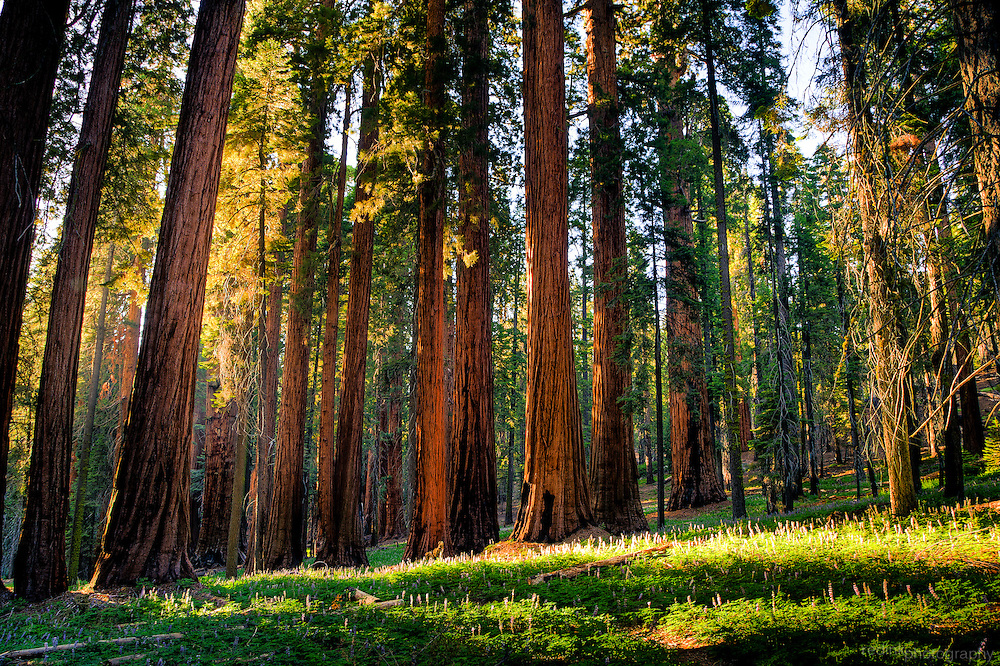 A line of Giant Sequoia trees along the Sherman Tree Trail. Late afternoon sun creates patterns on the green grass in front of a line of Sequoia trees. Sequoia National Park, California.