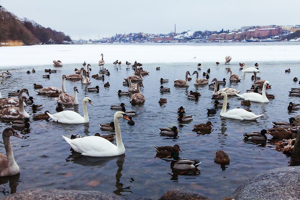 Swans and the ducks at the frozen Mälaren, Riddarfjärden lake in Stockholm.  Photo was taken from Kunghsholmen with the island of Kungsholmen (left) and Södermalm (right) in the background