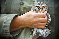 JEROME A. POLLOS/Press..An small owl is held after being taken out of its cage and prepared for release.