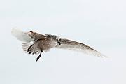 JAPAN, Eastern Hokkaido.Immature glaucous-winged gull (Larus glaucescens) in flight