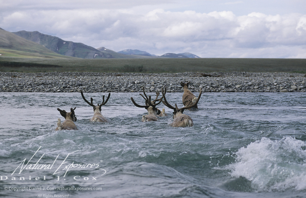 Barren Ground Caribou porcupine herd. Arctic National Wildlife Refuge, Alaska