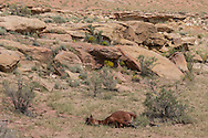 Wild fillie sleeping in rugged landscape of northwestern New Mexico, © 2012 David A. Ponton