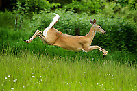 A doe leaps through a field of tall grass Thursday after giving birth to two fawns a few hours earlier near the base of Canfield Mountain.