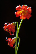 Three orange tiger lilies on black. A California native flower that grows along the Pacific Coast.