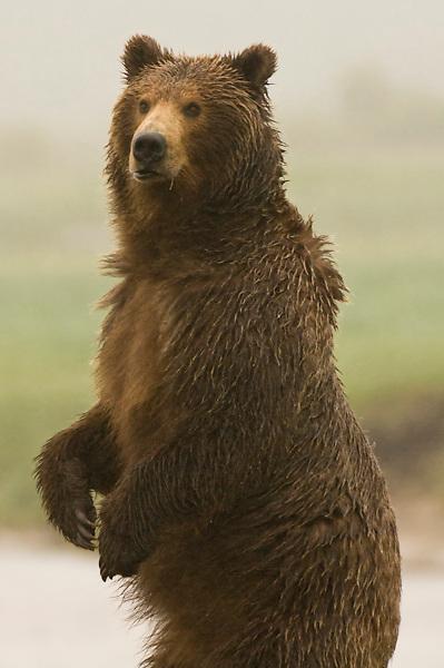 Kodiak bears in Katmai