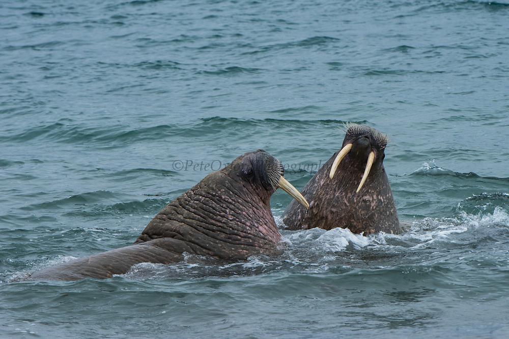 Atlantic Walrus Poolepynten colony<br /> (Odobenus rosmarus)<br /> Spitsbergen<br /> Svalbard<br /> Norway<br /> Arctic Ocean<br /> Poolepynten haul out