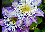 Macro photograph of 2 lavender clematis