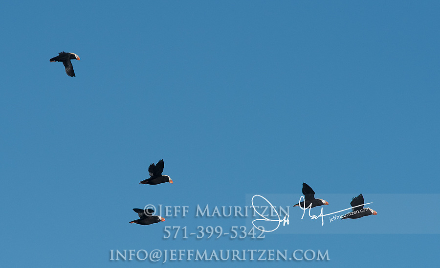 Tufted puffins (Fratercula cirrhata) in flight over the waters in Glacier Bay National Park, Alaska.