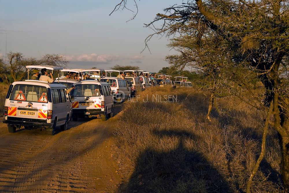 Leopard traffic jam! The drivers of Safari vehicles have spotted a leopard in Samburu national park and the jeeps rapidly line up.