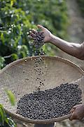 Orizania_MG, Brasil.<br /> <br /> Plantacao de cafe em Orizania, Minas Gerais.<br /> <br /> Coffee plantation in Orizania, Minas Gerais.<br /> <br /> Foto: LEO DRUMOND / NITRO