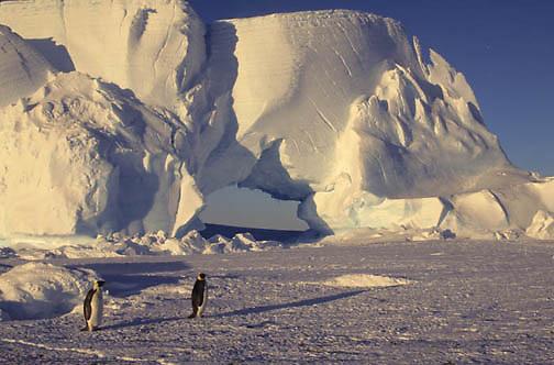 Emperor Penguin, (Aptenodytes forsteri) Adults. Atka Bay. Antarctica.