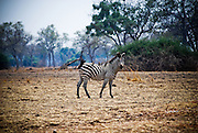 Zebra and oxpeckers. South Luangwa, Zambia. (Equus quagga)