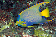 queen angelfish, Holacanthus ciliaris, feeding on substrate, Stetson Bank, Flower Garden Banks National Marine Sanctuary, off the coast of Texas, USA ( Gulf of Mexico )