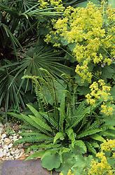 Foliage association of fern with Alchemilla mollis and Chamaerops humilis