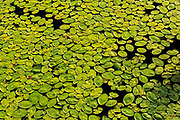 Lily pads on Old Women Lake<br /> <br /> Ontario<br /> Canada