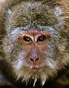 Rhesus macaque - Thailand.