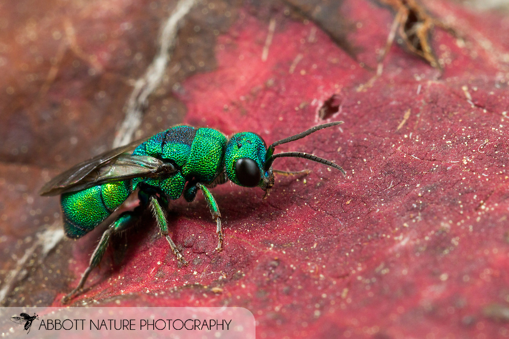 Cuckoo Wasp (Hedychrum sp.)<br /> United States: Alabama: Tuscaloosa Co.<br /> Tulip Tree Springs off Echola Rd.; Elrod<br /> 20-Jun-2016<br /> J.C. Abbott #2835 &amp; K.K. Abbott