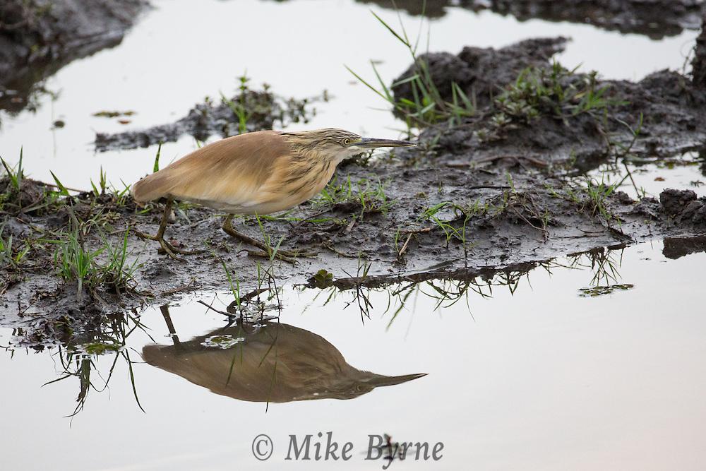 Squacco heron in Chobe National Park, Botswana.
