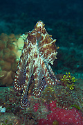 Common Reef Octopus (Octopus cyanea) - Milne Bay, PNG