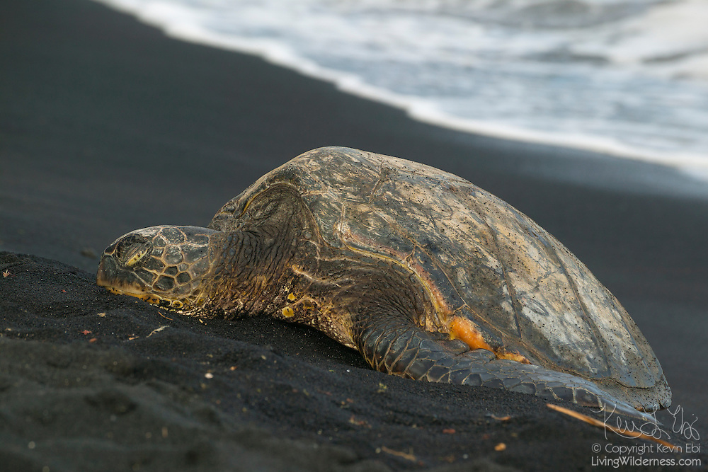 A green sea turtle (Chelonia mydas), or Honu in Hawaiian, rests on the Punalu`u Black Sand Beach on the Big Island of Hawaii. Punalu`u is one of the few beaches where these turtles bask in the sun. Scientists believe the cold-blooded turtles bask there to speed their metabolism and avoid tiger sharks.