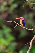 African Pygmy Kingfisher, Afrikansk Pygmekungsfiskare, Ispidina Picta, Ceyx Pictus