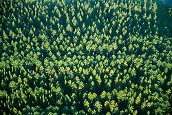 GERMANY SCHLESWIG-HOLSTEIN KIEL 9JUN02 - A pine forest from above as seen from the hot-air balloon...jre/Photo by Jiri Rezac..© Jiri Rezac 2002..Contact: +44 (0) 7050 110 417..Mobile:  +44 (0) 7801 337 683.Office:  +44 (0) 20 8968 9635..Email:   jiri@jirirezac.com.Web:     www.jirirezac.com